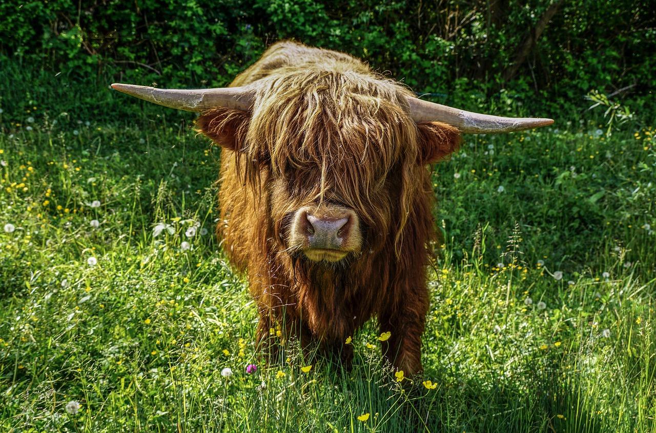 beef, cow, scottish highlands